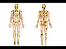interieur corps humain femme comment mémoriser le squelette humain