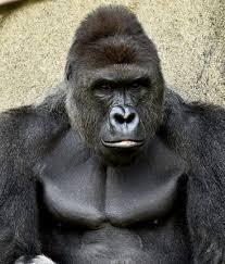 Cincinnati Zoo Halloween by Did The Cincinnati Zoo Really Kill A Rare Gorilla Wrwm Fm