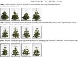 Nordmann Fir Christmas Tree Smell by Premium Cut Nordman Fir Real Christmas Tree 180 210cm 6 6 9ft