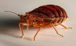 Bed Bugs Mistaken Identity IBBRA