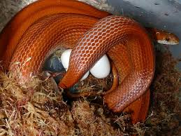 Corn Snake Shedding Signs by Corn Snake Gallery