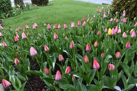 i just like tulips everybody gardens