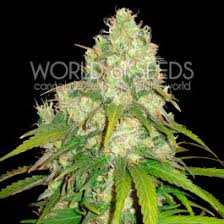NORTHERN LIGHT BLUE AUTO AUTOFLOWERING SEEDS DELICIOUS SEEDS