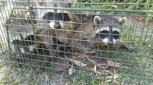 Raccoon Removal, Control & Prevention - We Get Rid Of Raccoons Service Wildlife Command Center Mo How To Get Rid Of Raccoons Youtube With A Motion Activated Sprinkler My To Of Raccoons Video Roof Pool Attic Yard 42 Best Raccoon Pictures Images On Pinterest Wild Animals Search For A Home Removal Homes All City Animal Trapping November 2010 Tearing Up Your Yard Theyre After The Grubs 3 Easy Ways Wikihow In Warning Signs Solutions Problems Precise Termite Baylcariasis The Tragic Parasitic Implications In