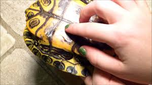 how to tell if your turtle s shell is healthy spot shell rot and