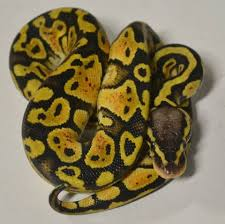 baby pastel ball pythons for sale