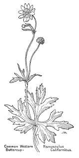 Common Western Buttercup Ranunculus Californicus