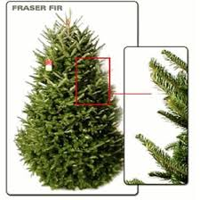 Fraser Fir Christmas Trees Nc by Best 25 Fraser Fir Ideas On Pinterest Christmas Tree Types