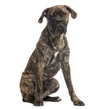 Cane Corso Italiano Shedding by Cane Corso Dog Breed Everything About Cane Corsos