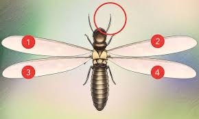 How to Identify a Termite 13 Steps with wikiHow
