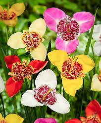 buy tiger flowers mixed bakker