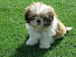 Quiet Small Non Shedding Dog Breeds by Best 25 Small Non Shedding Dogs Ideas On Pinterest Non Shedding