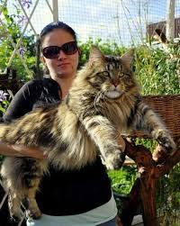 Do Maine Coons Shed In The Summer by 933 Best Maine Coon U0027s