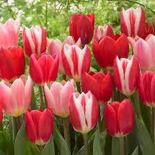 zyverden tulips bulbs striper blend set of 15 21574