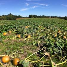 Pumpkin Patches In Charlotte Nc by Pick A Pumpkin At Carrigan Farms Mooresville Offline