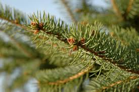 Balsam Christmas Tree Care by How To Choose A Living Tree To Replant After Christmas Inhabitat