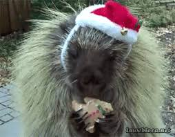Porcupine Eating Pumpkin Gif by The Cute Animal Avatar Club Just For Fun Psych Forums
