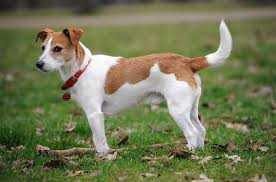 Dogs That Shed Very Little by 9 Low Maintenance Dogs That Are Perfect For Apartment Living