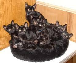 bombay cats bombay and burmese kittens