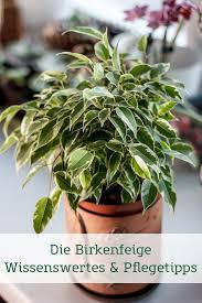birkenfeige pflegetipps pflanzen ficus benjamini