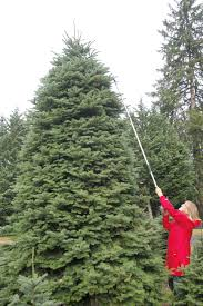 Nordmann Fir Christmas Trees Wholesale by The Tree Wisemans In Ridgefield Wa U2013 Country Folks Grower