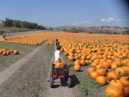 Pumpkin Patches In Bakersfield Ca by Cal Poly Pomona Pumpkin Patch Calpolypomona Pumpkin U2014 Socal