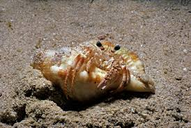 Do Hermit Crabs Shed Legs by Fun Facts About Hermit Crabs