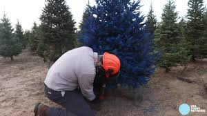 Farm Goes Beyond Green For Christmas Trees