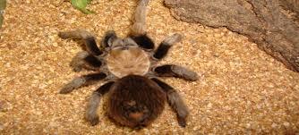 Do Tarantulas Shed Their Legs by Peoria Zoo Desert Blond Tarantula Peoria Zoo