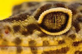 Do Baby Leopard Geckos Shed by Eye Issues In Pet Leopard Geckos