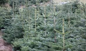 Christmas Tree Saplings Ireland by Finnegan Christmas Trees Northern Ireland