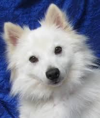 American Eskimo Shedding Problem by View Ad American Eskimo Dog Dog For Adoption New York Cuba Usa