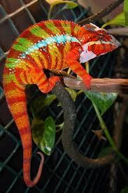 Basking Lamp For Chameleon by Panther Chameleon Chameleon Forums
