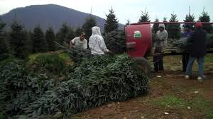 Fraser Fir Christmas Trees by Furches Fraser Fir Christmas Trees Being Baled 3 Youtube