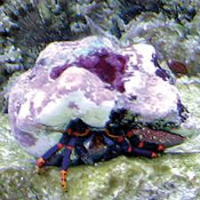 Do Hermit Crabs Shed Shell by Hermit Crab Calcinus Elegans