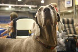 Do Long Haired Weimaraners Shed by Breed Of The Week Weimaraner Jones Natural Chews