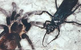 Do Tarantulas Shed Their Legs by An Introduction To Tarantulas And Scorpions