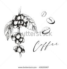Coffee Plant Graphic The Sketch Beans With Leaves Vector Illustration For Your Design