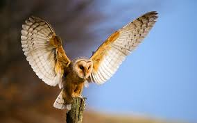 Barn Owl Wallpaper And Background | 1680x1050 | ID:355607 Barn Owl United Kingdom Eurasian Eagleowl Wallpaper Studio 10 Tens Of Barn Owl Wallpapers And Backgrounds Pictures 72 Images By Faezza On Deviantart Bird Falconry One Animal Closeup Free Image Snowy Hd 78 Sits Pole Wooden Dove Birds Images Hd 169 High Wallpaper 1680x1050 11554 Free Backgrounds At Wildlife Monodomo 2 One Online 4k Desktop For Ultra Tv Wide