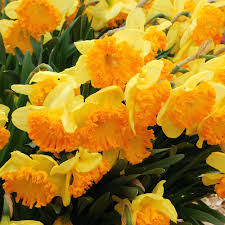 heirloom daffodil bulbs heirloom daffodil bulbs for sale planting