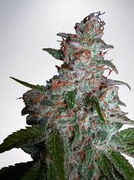 Northern Lights MOC Feminized Ministry of Cannabis