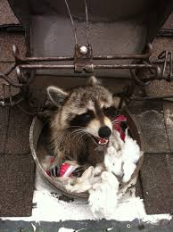 How To Get Rid Of Raccoons | DQ Pest Control DQ Pest Control Service Wildlife Command Center Mo How To Get Rid Of Raccoons Youtube With A Motion Activated Sprinkler My To Of Raccoons Video Roof Pool Attic Yard 42 Best Raccoon Pictures Images On Pinterest Wild Animals Search For A Home Removal Homes All City Animal Trapping November 2010 Tearing Up Your Yard Theyre After The Grubs 3 Easy Ways Wikihow In Warning Signs Solutions Problems Precise Termite Baylcariasis The Tragic Parasitic Implications In