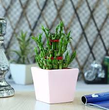 entretien des bambous en pot bambou en pot et lucky bambou entretien et symbolique pots