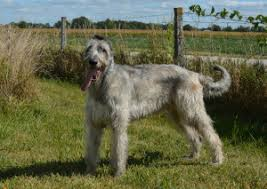 Irish Wolfhound Non Shedding by Top 10 Largest Dog Breeds In The World Fun Facts You Need To Know
