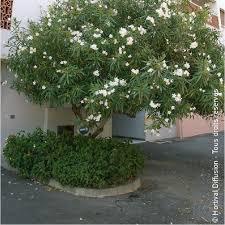 oleander blanc laurier à fleurs simples blanches
