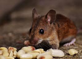 comment se débarrasser des souris qui envahissent votre maison