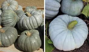 Types Of Pumpkins For Baking by The Many Colors Of Pumpkins Sensational Color
