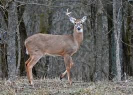 Does Deer Shed Their Antlers by Category Whitetail Deer