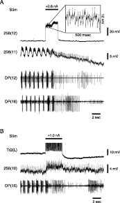 connexions 54 by chamber of imaging reveals synaptic targets of a swim terminating neuron in the