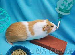 Can Guinea Pigs Eat Salted Pumpkin Seeds by 47 Best Guinea Pig Cages Images On Pinterest Diy Charts And